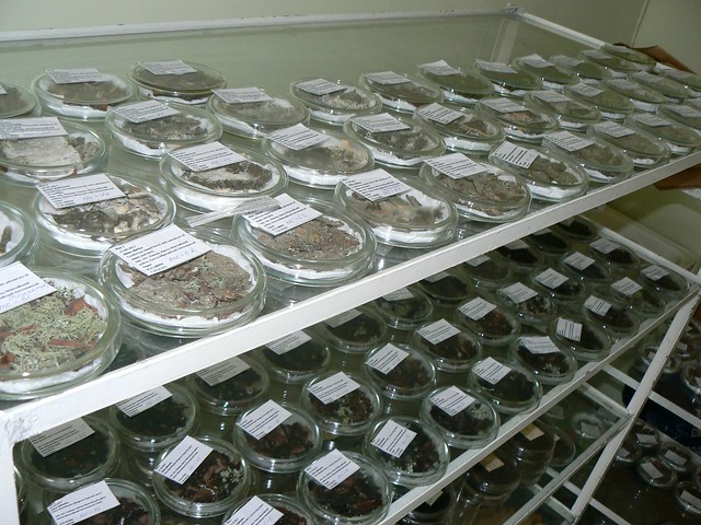Series of Petri dishes incubating the substrates for inventory of Corticioid Myxomyetes