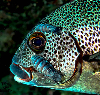 Spotted Sweetlips with Parasite Detail