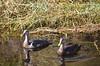 Mottled Ducks - female and male by Marsh, D.