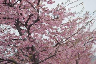 early blooming sakura is blooming
