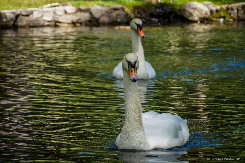 Cisnes del Balneario de Caldes de Boí