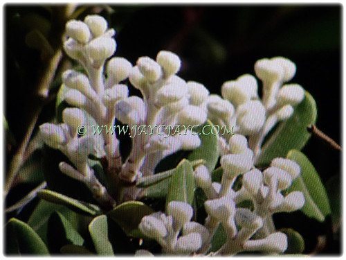 White coloured buds of Metrosideros excelsa | by jayjayc