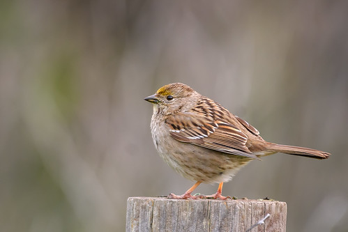 Golden-crowned Sparrow (immature) | by Becky Matsubara