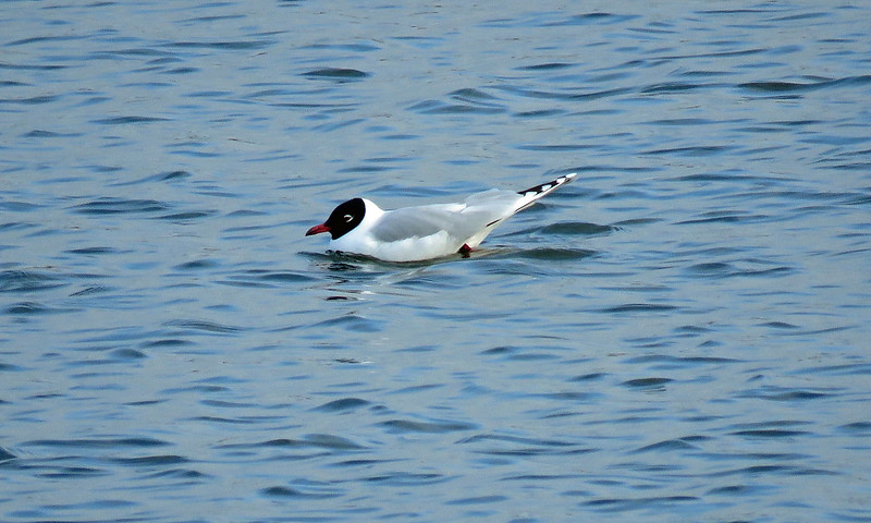Mediterranean Gull - Larus melanocephalus x Black-headed Gull - Chroicocephalus ridibundus