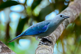 Голубая танагра, Thraupis episcopus nesophila, Blue-gray Tanager | by Oleg Nomad