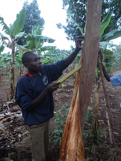 Sustainable harvesting of bark cloth