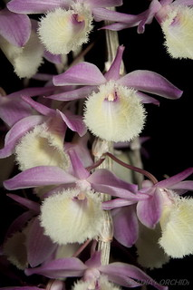 Dendrobium aphyllum (pierardii) | by TwilightShadow