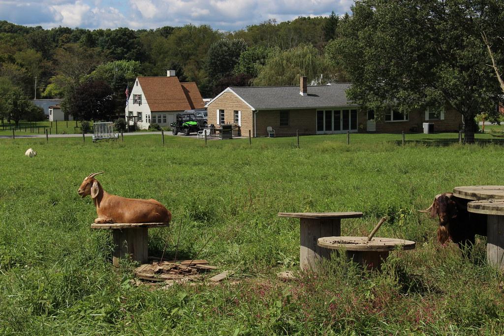 Goats, Arthurdale, WV | Joseph | Flickr
