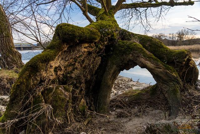 Wurzel/Baum an der Aare bei Felsenau