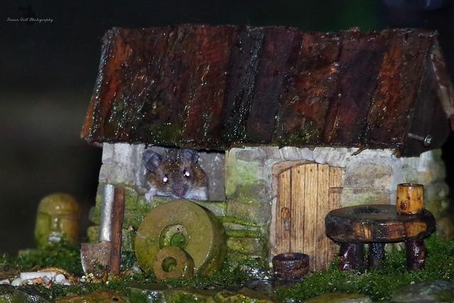 wood mouse inside little house mar 2018  (4)