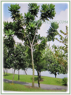 Barringtonia asiatica can grow between 7-25 m tall | by jayjayc