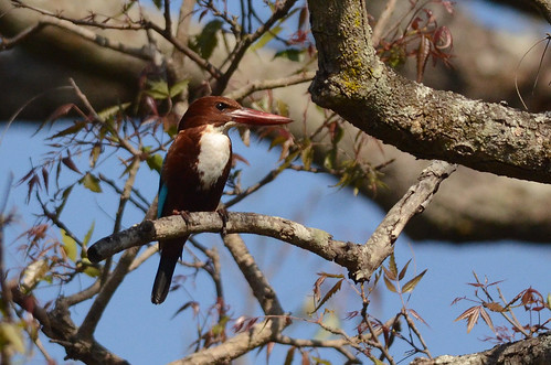 White-throated Kingfisher | by as_kannan