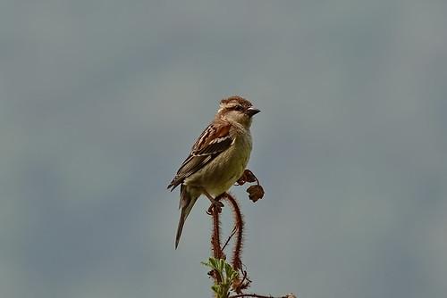 Рыжий воробей, Passer cinnamomeus cinnamomeus, Russet Sparrow   by Oleg Nomad