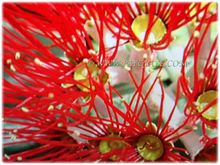 Gorgeous vibrant red flowers of Metrosideros excelsa | by jayjayc