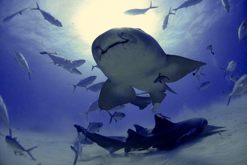 Requin nourrice / Bimini South