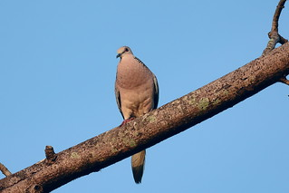 Пятнистая горлица, Spilopelia suratensis, Western Spotted Dove | by Oleg Nomad