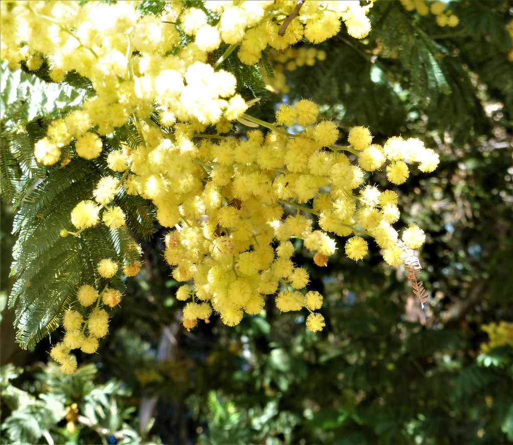 Acacia Or Mimosa Tree Oakland Zoo California Flickr