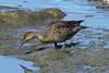 Anas acuta ♀ (Northern Pintail) - Swinomish, WA USA by Nick Dean1