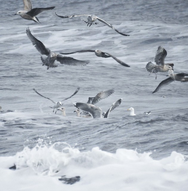 Seagulls and Surf - Cresswell Beach