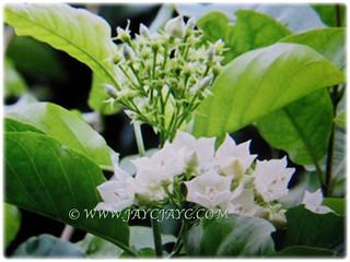 Beautiful blooms and light green foliage of Vallaris glabra | by jayjayc