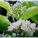 Beautiful blooms and light green foliage of Vallaris glabra