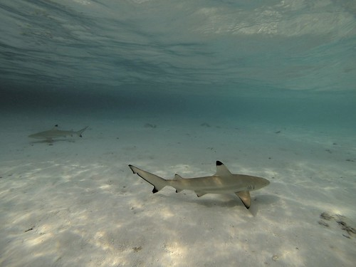 Black Tip Shark in the Maldives