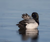 Greater Scaup (Aythya marila) - Point Pleasant, New Jersey by JFPescatore