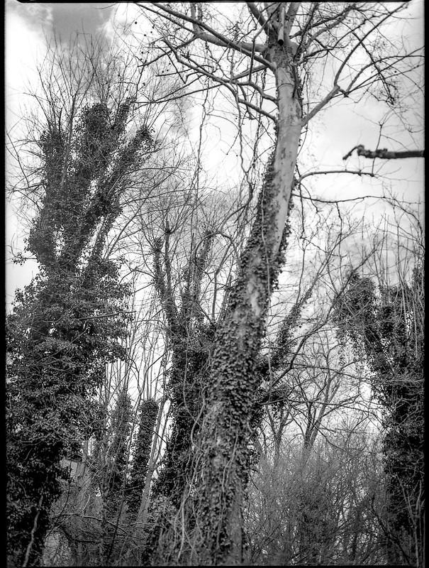 ivy-covered tree trunks, forest, North Asheville, NC, Mamiya 645 Pro, mamiya sekor 80mm F-2.8, 3.20.18