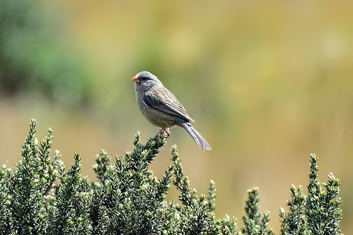 Невзрачная катамения, Catamenia inornata inornata, Plain-colored Seedeater | by Oleg Nomad