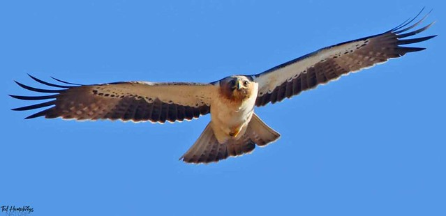 Booted Eagle on approach Jan 2018