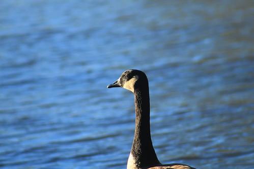 canada goose huddleston pond park peachtree city georgia
