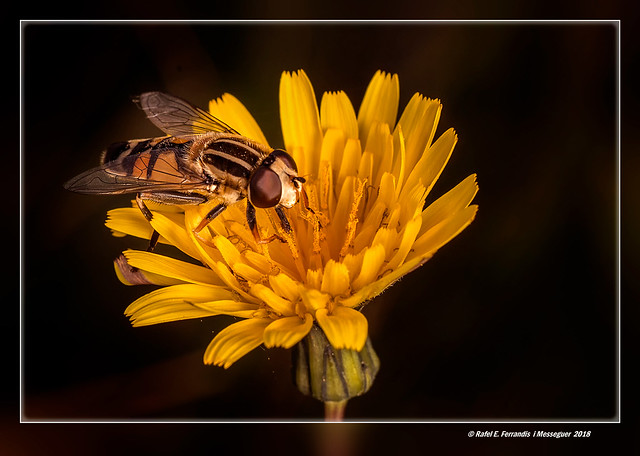 Sírfid tigre en flor de llicsó (Helophilus pendulus, sonchus oleraceus) Tiger Hoverfly on Common Sowthistle (El Perelló, la Ribera Baixa, València, Spain)