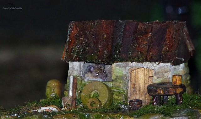 wood mouse inside little house mar 2018  (2)