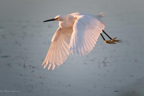 merrittisland action background bird egret flight florida sunrise water wildlife unitedstates us