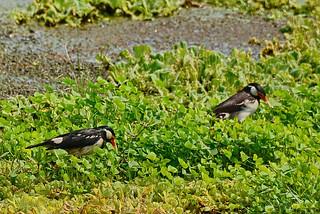 Пегий скворец, Sturnus contra contra, Asian Pied Starling | by Oleg Nomad