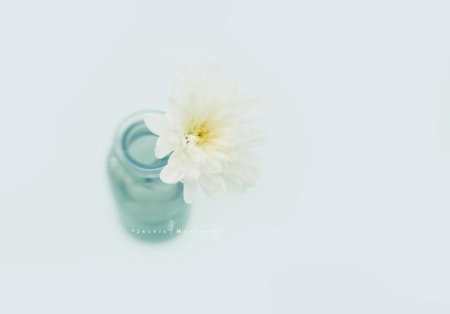 Chrysanthemum ...
