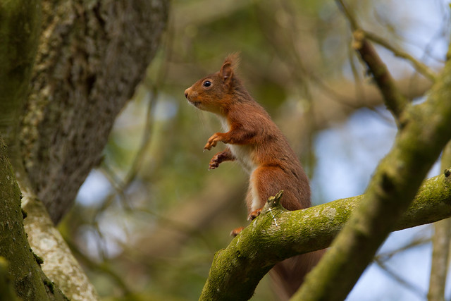 Red Squirrel - Explore`d 25 March 2018
