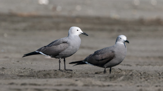 Gray Gull - Gaviota Garuma (Leucophaeus modestus)