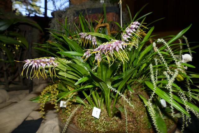 the 2018 pacific orchid exposition: Masdevallia superbiens species orchid