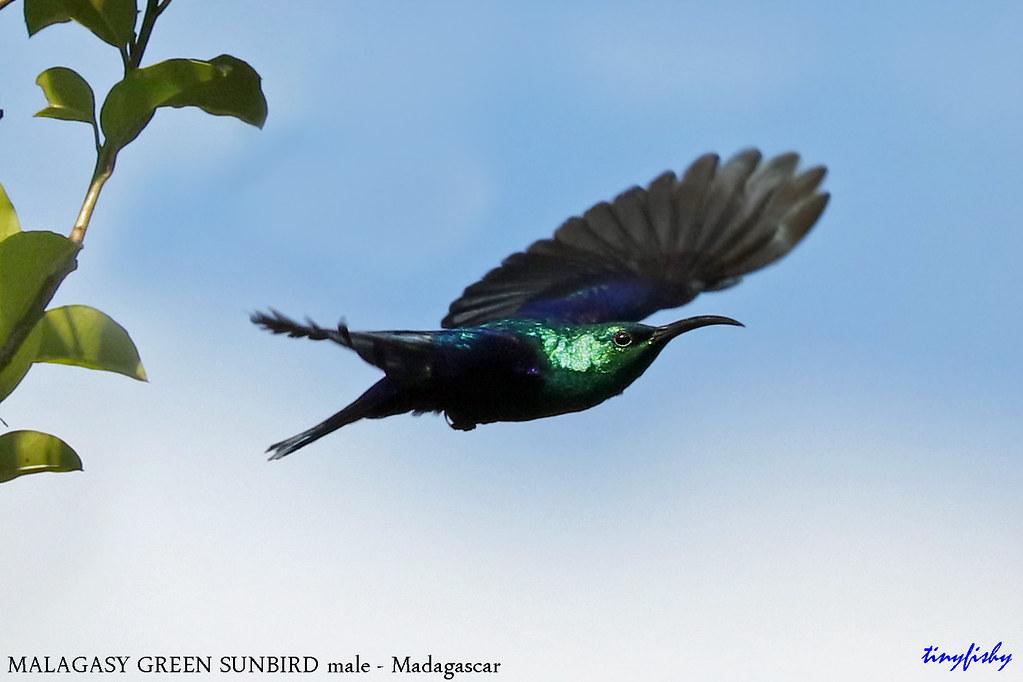*****WORLD BIRD SPECIES # 1200***** - MALAGASY GREEN SUNBIRD - [Ranomafana National Park, Madagascar ]