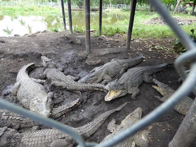ciradero cocodrilos