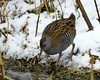 Water rail by Jaedde & Sis