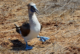 Голубоногая олуша, Sula nebouxii excisa, Blue-footed Booby | by Oleg Nomad