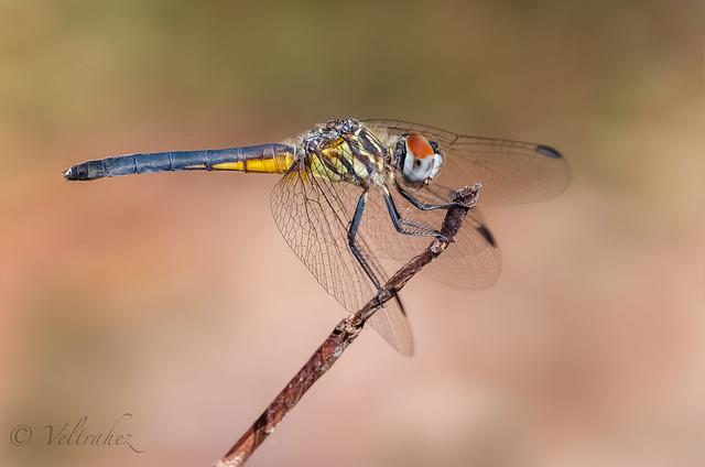 Blue Dasher.(Pachydiplax longipennis)