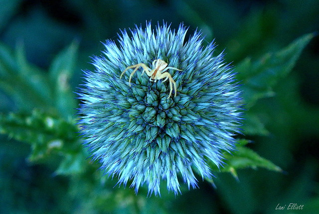 SMILE ON SATURDAY.....A Prickly ROUND Flower with Visitor