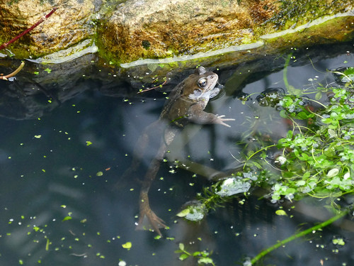 02 Frog Mar24 2018 | by http://wildaboutthebritishisles.uk