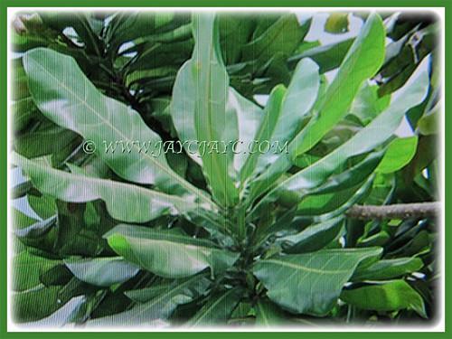 20-40 cm long green leaves of Barringtonia asiatica   by jayjayc