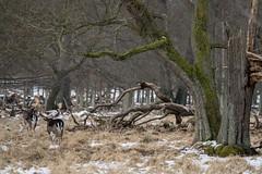 Jægersborg Dyrehave in Snow