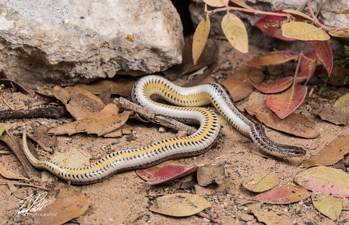 Lined Snake | by Frank Portillo