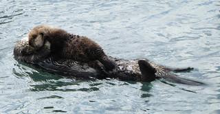 Fluffy Otter Pup | by grandmasandy+chuck